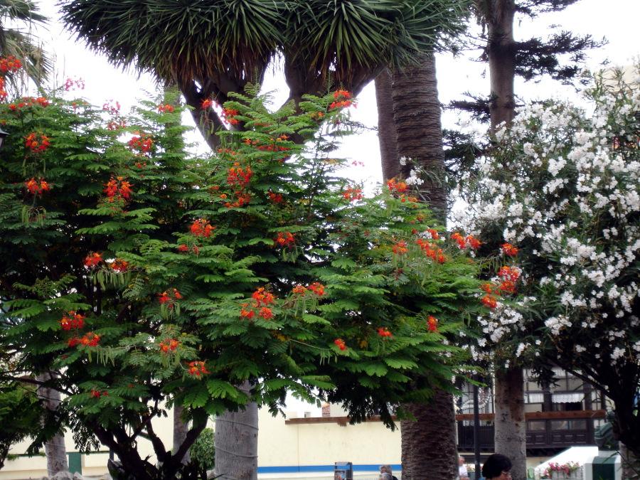 tenerife-arbol-flores-rojas