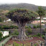 Icod de los Vinos y el Drago Milenario, Tenerife (Islas Canarias)